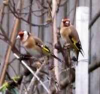 Goldfinches on cosmos seed heads in December
