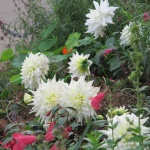 Dahlias still going strong 18 November 2011