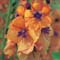 Verbascum Clementine