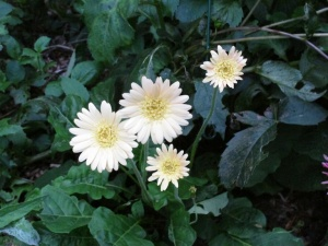 Hardy gerbera pale yellow