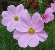 Cosmea Ayletts Nurseries