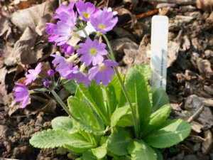 Drumstick Primula, grown from Thompson & Morgan seed