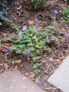 Bressingham Azure Rush geranium