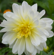 Dahlia Pasodoble bright yellow