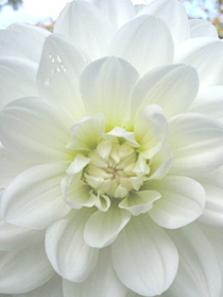 Dahlia Ballerina White