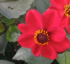Dahlia Preston Park, red