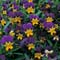 Thompson & Morgan tricolour violas