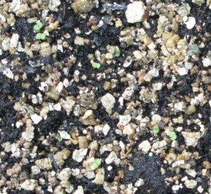 Sempervirum seeds germinating