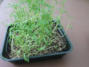 Rather leggy Cosmos seedlings