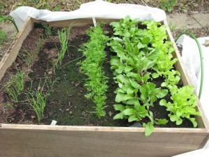 Raised bed with lettuce, beetroot, carrots and onions
