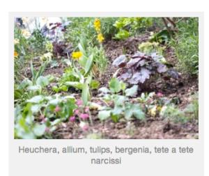 Heuchera, allium, tulips, bergenia, tete a tete narcissi