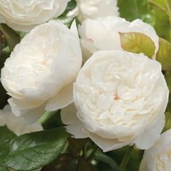 William and Catherine, David Austin Rose 2011