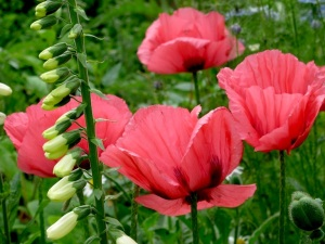 T&M Fruit Punch poppy and white foxglove