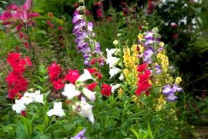 Penstemons, verbascum, tree lilies