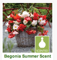 Begonia Summer Scent - Gardening Direct
